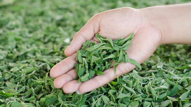Der bittersüsse Stevia-Boom