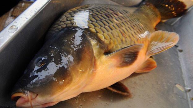 Audio «Wenn Fisch, dann Karpfen» abspielen