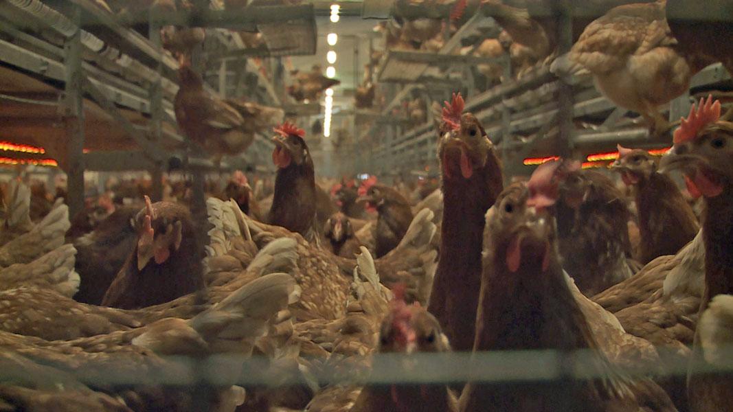 Im Guetzli können Eier aus Käfighaltung stecken