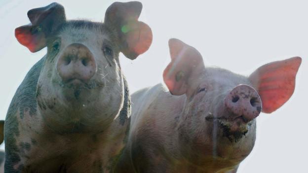 Audio «Schweizer Fleisch: «Das ist kein Tierwohl-Label»» abspielen