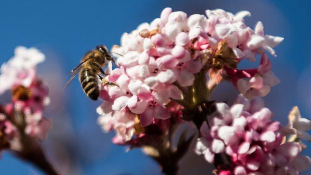 Audio «Sind Saatgut-Pestizide gefährlicher als angenommen?» abspielen.
