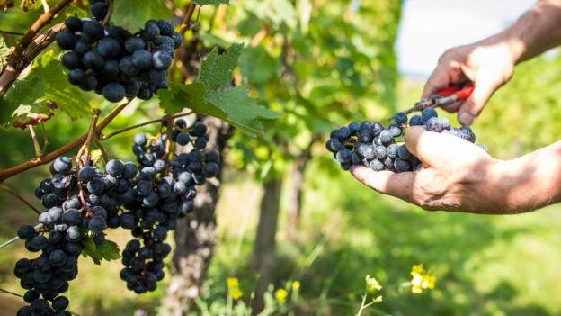 Pestizid in Schweizer Weinen gefunden