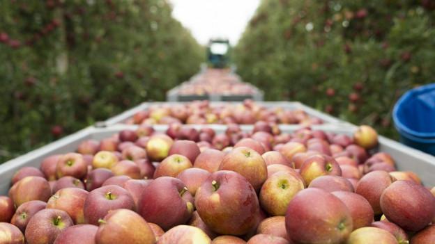 Audio «Sortenvielfalt: Leben wir in einer «Apfel-Wüste»?» abspielen