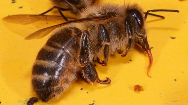 Audio «Zahlreiche Vergiftungsfälle bei Bienen» abspielen.