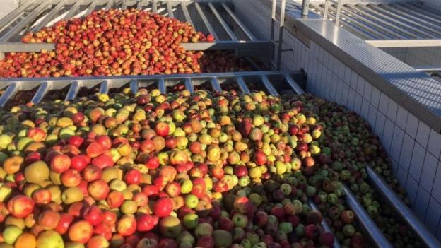 Miese Ernte: Schlechte Nachrichten aus dem Apfelkanton