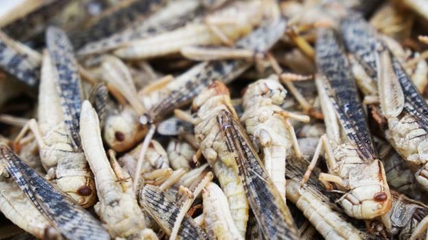 Im Insekten-Kochkurs: «Die Mehlwürmer kosten Überwindung»