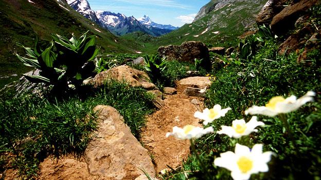 Alpenflora: Biodiversität bei Gipfelpflanzen