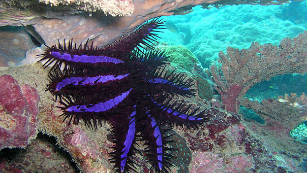 Korallenfressende Monster gefährden Tourismusparadies Fidschi