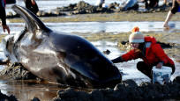 Audio «Rätselhaftes Walsterben in Neuseeland» abspielen