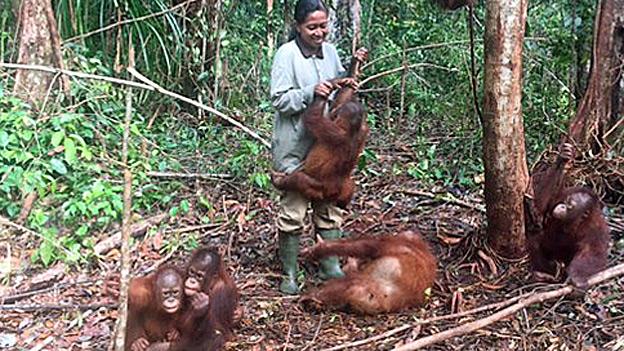 Schwindender Lebensraum für Orang-Utans auf Borneo
