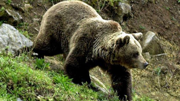 Das Ende der lukrativen Bärenjagd in Rumänien