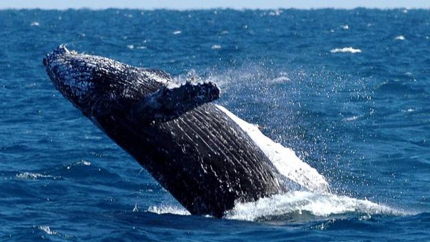 Surfer gegen Wale in Australien