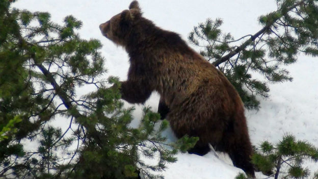 WWF kritisiert Abschuss von Bär M13