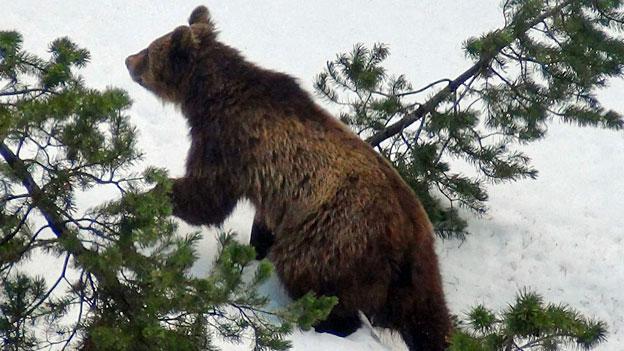 Kein Lebensraum für Bären in der Schweiz?