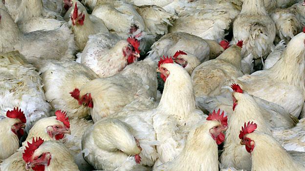 Die Vogelgrippe ist zurück