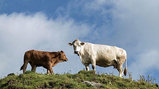 Mutterkuh-Herden als Gefahr beim Wandern