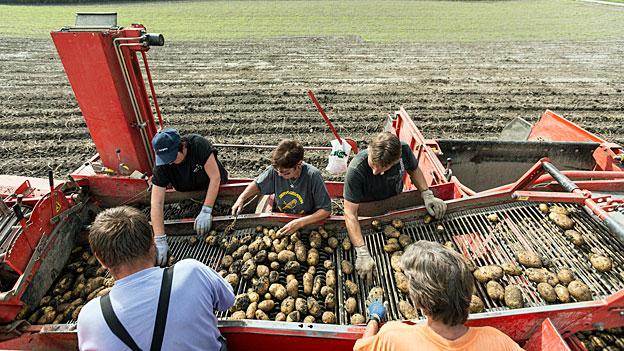 Der heisse Sommer bringt kleine Kartoffeln