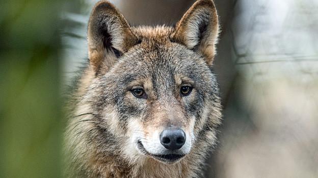 Audio «Für und Wider den Wolf in der Schweiz» abspielen.