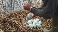 Audio «Schwanenbestand halbieren mit Eierstechen» abspielen
