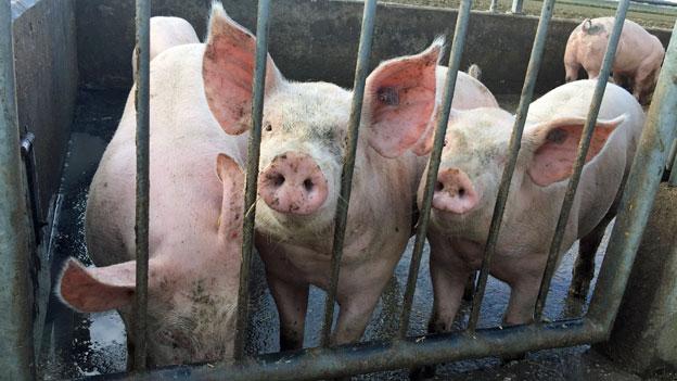 «Schweinezucht ist keine Goldgrube»