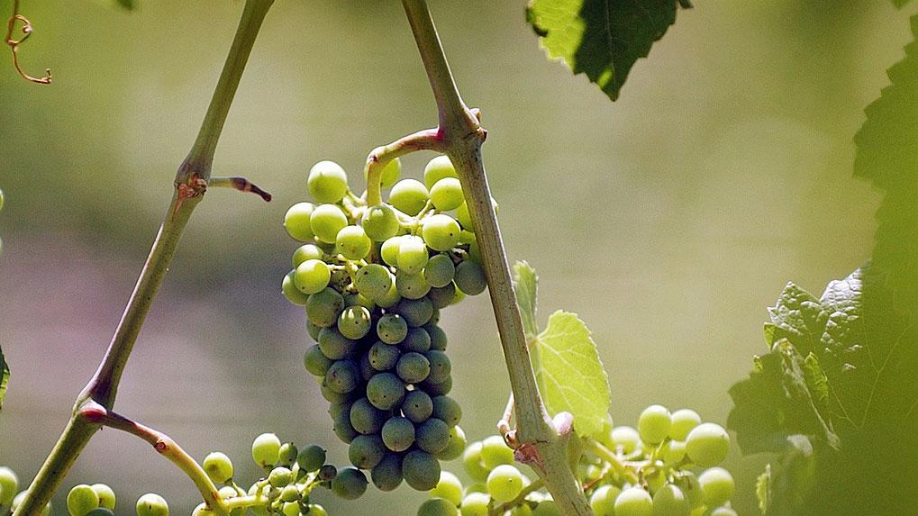 Schweizer Weinbauern in schwieriger Lage