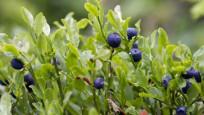 Audio «Jetzt Heidelbeeren pflanzen» abspielen