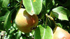 Die Birne: eine Frucht für gesund und krank, für jung und alt