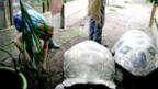 DRS 1 - Hörerinnen bei den Riesenschildkröten