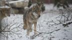 Im Märchen wird der Wolf meist als Menschenfresser und Bösewicht dargestellt.