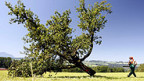 Ein gefällter Apfelbaum: Bisher wollte man den Feuerbrand ohne Antibiotika bekämpfen.