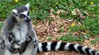 Kommen nur auf Madagaskar und den Komoren vor: die Lemuren