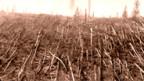 Rund 60 Millionen Bäume sind bei der Explosion umgeknickt worden (Bild 1930)