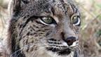 Vom Aussterben bedroht: Der Pardelluchs (Lynx pardinus).
