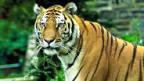 Bengalischer Königstiger.