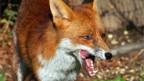 Ein berüchtigter Überträger von Tollwut: Der Fuchs.