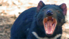 Bedrohter Räuber: Der tasmanische Teufel.