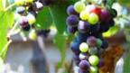 Milderes Klima: Schwedens Bauern satteln auf Weinproduktion um.
