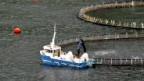 Fischfarm vor den Faröer-Inseln.
