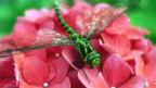 In der Schweiz geschützt: die grüne Libelle.