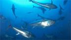 Blauflossenthunfisch: Monaco will den Handel damit untersagen.