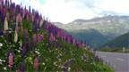 Könnte eine invasive Pflanze im Berggebiet werden: Lupinen an der Furkapass-Strasse