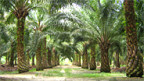Ölpalmen-Plantage in Malaysia.