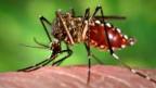Die «Aedes aegypti» beim Blutsaugen.
