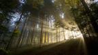 Wärmeeinfluss: Der Wald wird in Zukunft jünger, vermuten Experten.