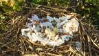 Das dekorierte Nest eines 11-jährigen Schwarzmilans.
