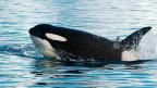 Ein Orca oder «Killerwal» in den Gewässern der Antarktis.
