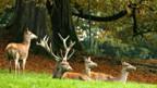 Nicht alle Rothirsche leben in geschützter Umgebung wie hier hier im Wildpark Langenberg.