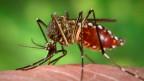 Bakterien verhindern die Übertragung des Dengue-Fiebers durch Mücken.