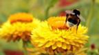 Bedrohen Insektengifte die Existenz von Hummeln?