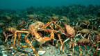 Bald schon Plastik? Krabben am Meeresgrund.